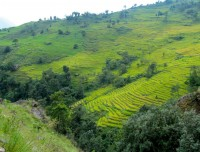 Rice field  along the Pun hill panorama trek