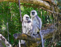 Common langur [Monkey]